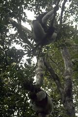 genus: Indri. Indri - Analamazaotra National Park, Madagascar