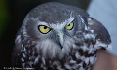 Barking Owl (Ninox connivens) (Me&MyCamera Photography) Tags: bird nikon wildlife owl closeups barking zoomlens barkingowl ninoxconnivens memycamera nikkor28300mm nikond7100 closeupsmacrophotography