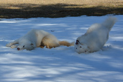 """Chase & Jag Imitating Each Other On A SNOW ROLL  24 • <a style=""""font-size:0.8em;"""" href=""""http://www.flickr.com/photos/96196263@N07/14192467606/"""" target=""""_blank"""">View on Flickr</a>"""