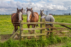 horse power verses newclear (hartlepool newclear power station in the back ground)  (13 of 1) (sean@bradford) Tags: bridge horses cleveland bridges northyorkshire vopak teeside rivertees sealsands thenewportbridge vopakoilterminal