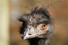 head of an emu (Cloudtail the Snow Leopard) Tags: zoo karlsruhe tier animal säugetier mammal emu kopf head portrait cloudtailthesnowleopard