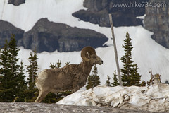 "Bighorn Sheep • <a style=""font-size:0.8em;"" href=""http://www.flickr.com/photos/63501323@N07/14380800877/"" target=""_blank"">View on Flickr</a>"