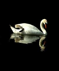 Swan Reflection 2 (Pythagoras98) Tags: blackandwhite lake reflection water reflections swan cygnet swans cygnets waverley waverleyabbey abber