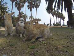 Okunoshima - The Bunny Rabbit Island (benn99) Tags: wild travelling rabbit bunny japan island rabbits livinginjapan okunoshima okunishima