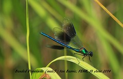 Banded Demoiselle_male FENR 42