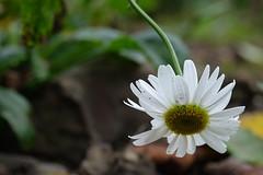 When the sadness brings you down (Goruna) Tags: margeriten marguerites flower blume fallen garden plant goruna