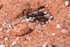 Dolichurus corniculus f - 21 IX 2016 (el.gritche) Tags: hymenoptera france 40 garden ampulicidae dolichuruscorniculus female nest behavior