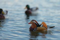 Mandarina Duck (male) (iLaura_LauraRabachin) Tags: mandarina anatra aixgalericulata anatramandarina lagodivarese