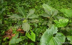 Solanaceae (Ecuador Megadiverso) Tags: andreaskay ecuador flower id274 solanaceae