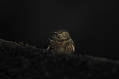 Burrowing Owl (www.studebakerstudio.com) Tags: burrowingowl owl studebaker bird nature tucson arizona