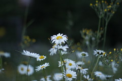 (davidsonm237) Tags: bokeh flowers wild bc mcbride canada white evening