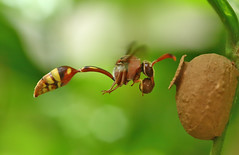 Potter Wasp In Action (karthik Nature photography) Tags: macro macrophotography potterwasp macrolife macroworld insectphotography insecthabitat insectsflight insects wildlife wildlifeindia wildlifephotography animals animalworld action actionphotography wasp wasphabitat waspinflight potterwaspflight