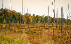 Michigan 5765 (Petr Bednarik) Tags: autumn cloudy colorful colors dead fall forest grass landscape larch maple michigan morning nature pine scenic swamp travel trees upperpeninsula wood