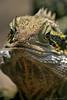 The lizard (boze610 [ GRocca Photo ] ( travel and nature )) Tags: lizard lucertola lucenaturale naturalmente natura nature naturallight reptile reptiles rettile rettili animali animals australia colori colours look sguardi close detail