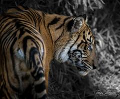 Suka (ToddLahman) Tags: sumatrantiger suka sandiegozoosafaripark safaripark teddy joanne escondido canon7dmkii canon canon100400 tigers tiger tigertrail