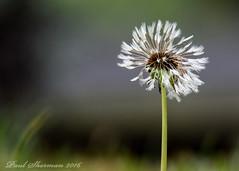 Nature's time piece (muppet1970) Tags: dandelion seeds flower nature christchurchpark focus blur
