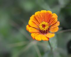 Yellowish Orange... (zoomclic) Tags: canon closeup colorful flower foliage orange yellow green garden fall 5dmarkii tse90mmf28 dof dreamy bokeh zinnia nature plant red zoomclicphotography 12mmexttube wonderfulworld