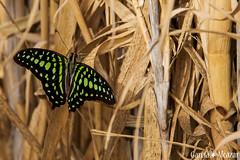 Mariposa 10 (Manolo G.A.) Tags: canon 50d 18200mm mariposario njar almera mariposa butterfly
