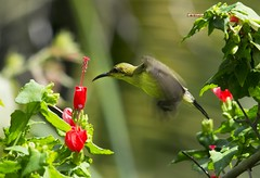 Olive-backed sunbird feeding on hibiscus nectar, Thailand (Jim 592) Tags: olivebacked sunbird nectar thailand asia bird tropical