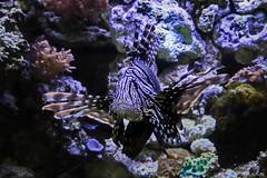 Pazifischer Rotfeuerfisch (Rolf Piepenbring) Tags: feuerfisch pteroisvolitans redlionfish gift toxic giftig terrazoo terrazoorheinberg zoom