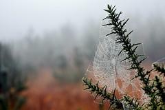 Misty Cobweb (c.marney) Tags: cobweb autumn