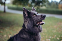 (Steve Gallazzi) Tags: nikon d610 sigma sigmaart 50mm street streetphotography edinburgh scotland people city alsatian dog portrait