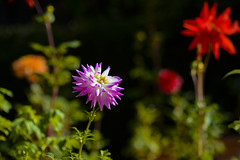 Flowers. (ost_jean) Tags: dahlia flowers colors nikon d5200 900 mm f28 ostjean