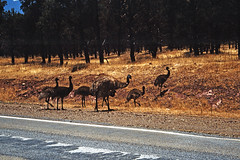 Emus at the side of the highway (Stefan Ulrich Fischer) Tags: 35mm australia scanned slide kodakektachrome minoltaxd7 travel downunder oz outback emus wildlife analogue outdoor trees