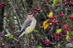 Cedar Waxwing (Bombycilla cedrorum) (R-Gasman) Tags: bird cedarwaxwing bombycillacedrorum jericho vancouver britishcolumbia canada