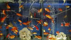 Aquarismo 03 (Parchen) Tags: aqurio aquarismo aqurios peixes ornamentais guadoce criao venda loja exposio coloridos variedade peixestropicais foto fotografia imagem registro parchen carlosparchen