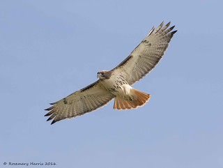 Red-tailed Hawk in Migration (Explored Oct 29 2016)
