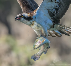 osprey and trout (bvalente) Tags: action birds fishing nature osprey trout wildlife