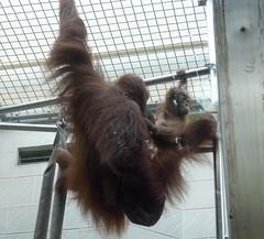 Zoo Ffm Sumatra-Orang-Utans (Pongo abelii) P1020163 (martinfritzlar) Tags: zoo frankfurt tier sugetier affe menschenaffe orangutan sumatraorangutan hominidae pongo abelii sumatran