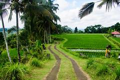Arrozales de Jatiluwith (fns-k) Tags: agricultura arroz asia bali camino campo campos cereales espaa europa gusto indonesia islasbaleares mallorca palmera sentidos transporteterrestre planta rbol