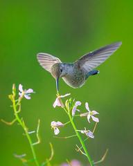 Anna's Hummingbird (wn_j) Tags: birds birding birdsinflight hummingbird salinasrivernwr wildlife wildanimals wildlifephotography nature naturephotography animals