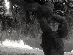 Une vie pleine de noeuds... A life full of knots... (alainpere407) Tags: alainpere paris parisnoiretblanc streetsofparis parisinsolite weirdtree arbretrange sophora