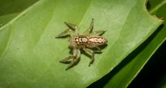 Cytaea alburna (dustaway) Tags: arthropoda arachnida araneae araneomorphae salticidae cytaeaalburna jumpingspider australianspiders spideronleaf goonellabah northernrivers nsw australia
