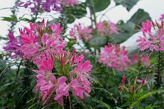 Blooms (zolsimpression) Tags: floraandfauna flower cameronhighlands xpro2 fujinon fujifilm zolmuhd zolsimpression