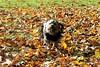Flo enjoying Cutts Close Park Oakham Rutland (@oakhamuk) Tags: flo enjoying cuttsclose park oakham rutland martinbrookes yorkiepoo dog