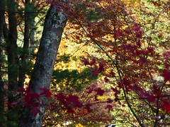 Looking for peace in nature (lovesdahlias 1) Tags: trees acers foliage nature fall newengland
