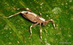 Brachyplatyphylloides sp.? (Ecuador Megadiverso) Tags: amazon book brachyplatyphylloidessp idbyholgerbraun katydid nymph orthoptera platyphyllini puyo tettigoniidae