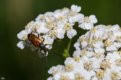 "Macro Monday ""Beetle"" (roland_lehnhardt) Tags: ef100mmf28usm canon eos60d macro mondays beetle kfer tiere animals tiefenschrfe schrfentiefe unschrfe dof pov nahaufnahme close up"