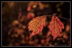 red_leaves (alamond) Tags: red leaf leaves backlight light bokeh canon 7d markii mkii llens ef 1740 f4 l usm alamond brane zalar