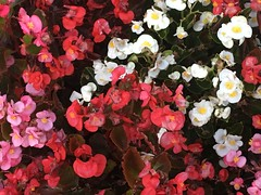 Different kind of Autumn Color (cliffordswoape) Tags: green usa tennessee chattanooga fullbloom flowers autumn color pink white red begonias