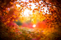 In November Sunlight (moaan) Tags: kobe hyogo japan jp autumn november autumnleaves autumncolors colorsofautumn momiji japanesemaple sunlight pouringsunlight bokeh dof utata 2016 leica mp leicamp type240 noctilux 50mm f10 leicanoctilux50mmf10