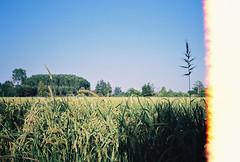 (Alessio Conti) Tags: analogue film filmcamera filmisnotdead filmphotography ilovefilm ishootfilm 35mm yashica t3 tessar fujifilm superia 200iso landscape country countryside lombardia