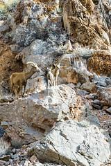 047-VOF160131_46747 (LDELD) Tags: nevada desert rugged dry harsh wild valleyoffire bighornsheep animal wildlife rocky