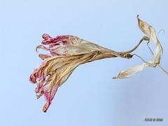 eingetrocknete Amaryllis-Blte (joergpeterjunk) Tags: home indoor pflanze blume blte amaryllis eingetrocknet canoneos7dmarkii canonef100mmf28lmacroisusm