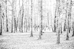 The Light forest (Cinedavinci) Tags: white forest aethereal photoshooting graphic minimalism zen jardin forête foresta light lightshooting overexposed artistic project paradise heaven valhalla trees cure robert smith dreaming feerique charming magic magique natural autumn winter perigord dordogne echourgnac la double aventure adventure discovery lord ring princess spiritual land paysage rêve
