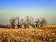 Open field (mrbillt6) Tags: northdakota landscape outdoors trees field grass golden prairie plains rural